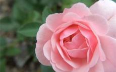 Wellington Lady Norwood Rose Garden